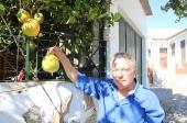 Limoeiro dá fruto com 1,2 kg